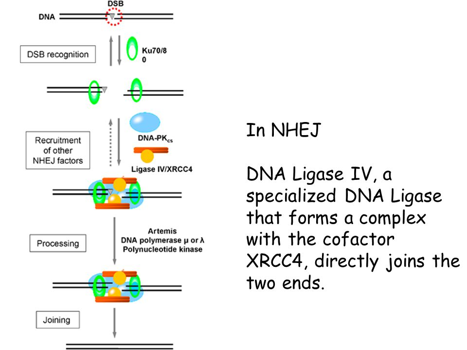 In NHEJ DNA Ligase IV, a specialized DNA Ligase that forms a complex with the cofactor XRCC4, directly joins the two ends.