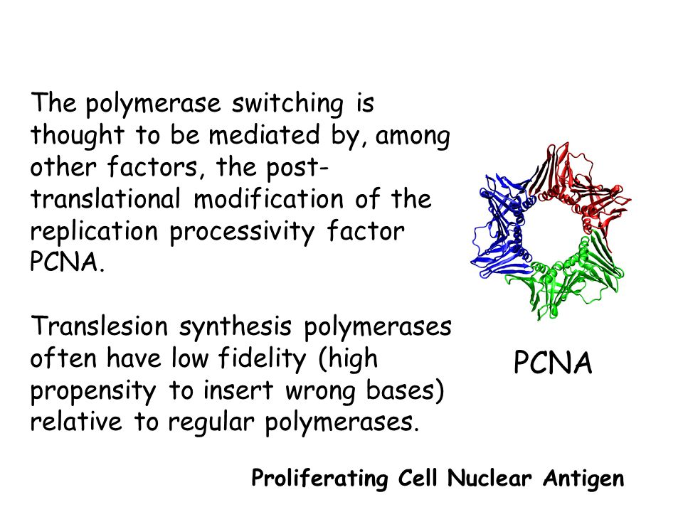 The polymerase switching is thought to be mediated by, among other factors, the post-translational modification of the replication processivity factor PCNA.