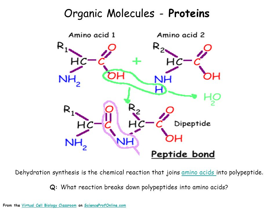 Organic Molecules - Proteins