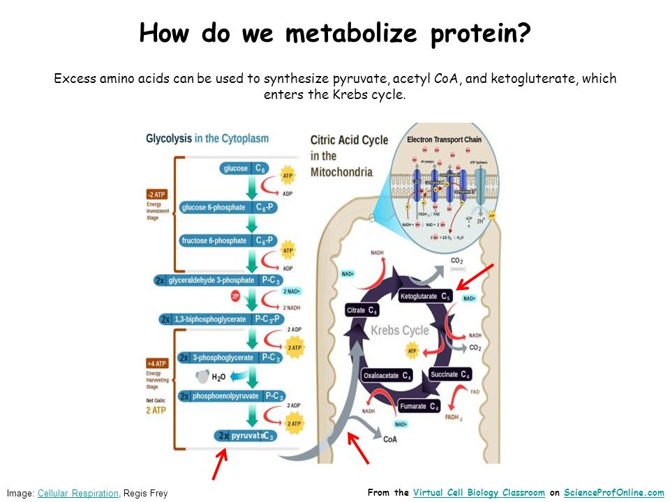 How do we metabolize protein