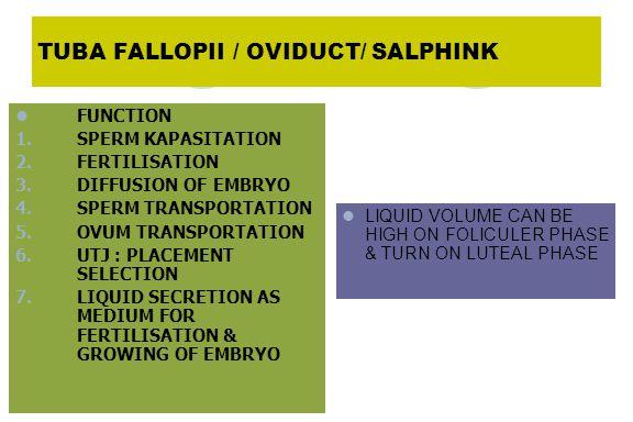 TUBA FALLOPII / OVIDUCT/ SALPHINK