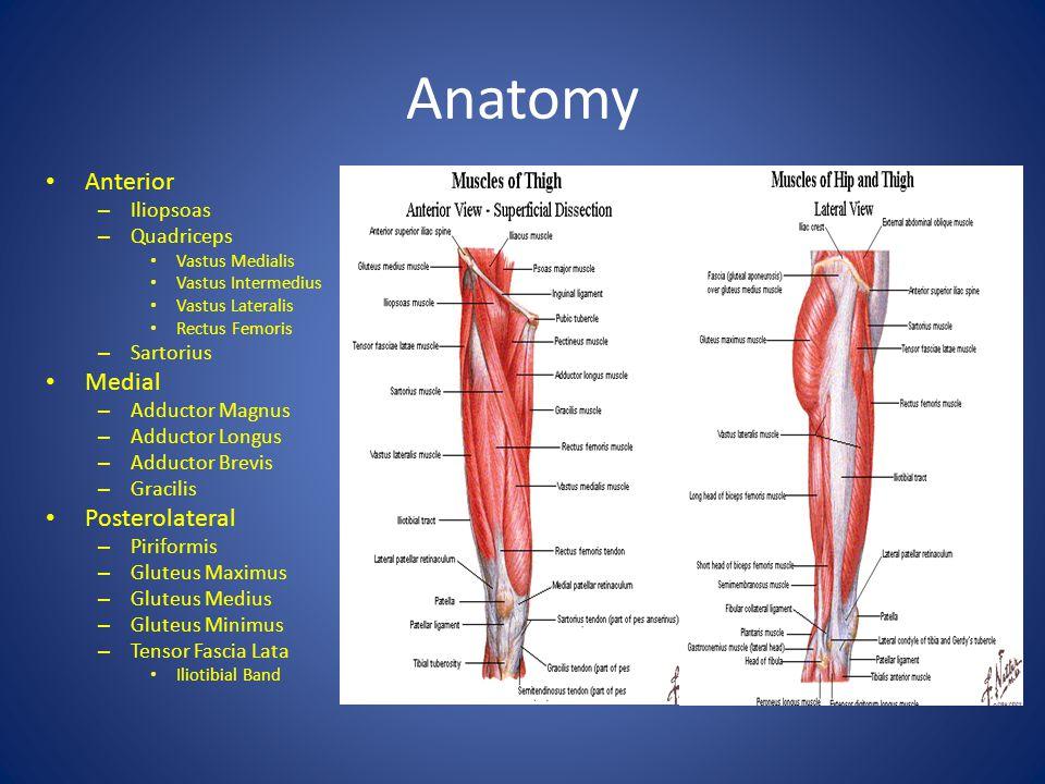 Anatomy Anterior Medial Posterolateral Iliopsoas Quadriceps Sartorius