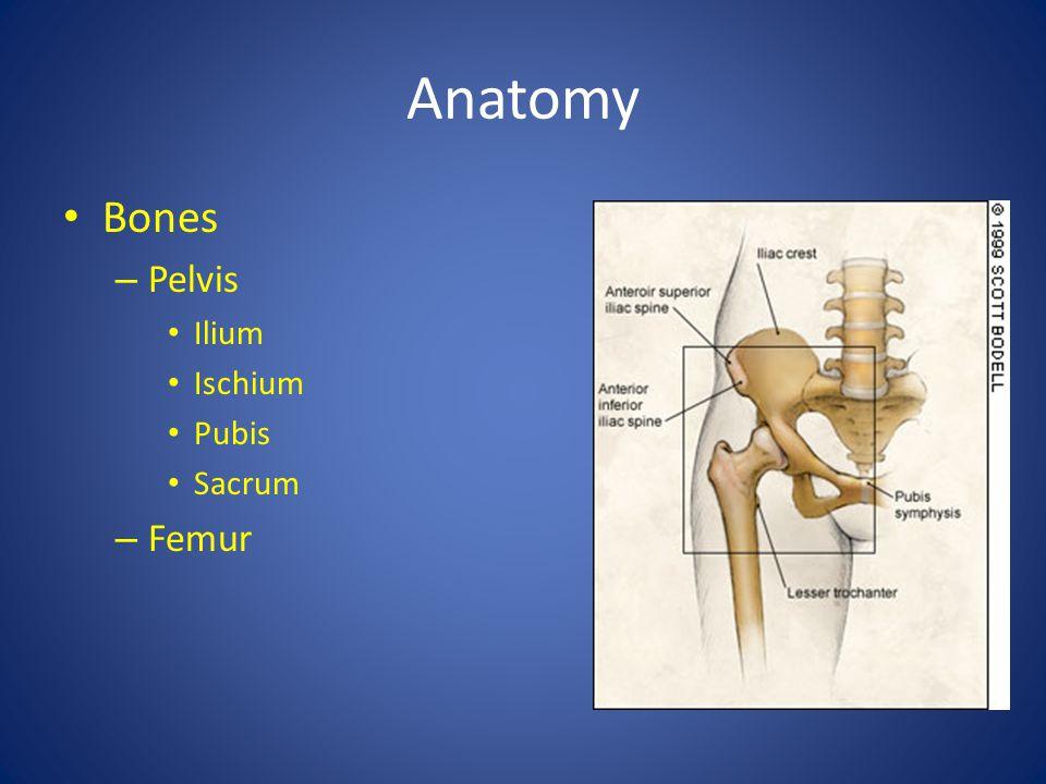 Anatomy Bones Pelvis Ilium Ischium Pubis Sacrum Femur