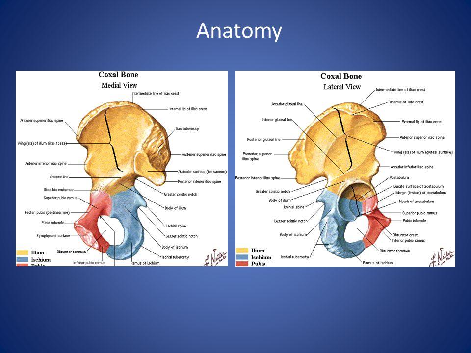 Anatomy Ilium - anterior superior iliac spine, anterior inferior iliac spine, Iliac crest, Gluteal Line, Posterior superior iliac spine.