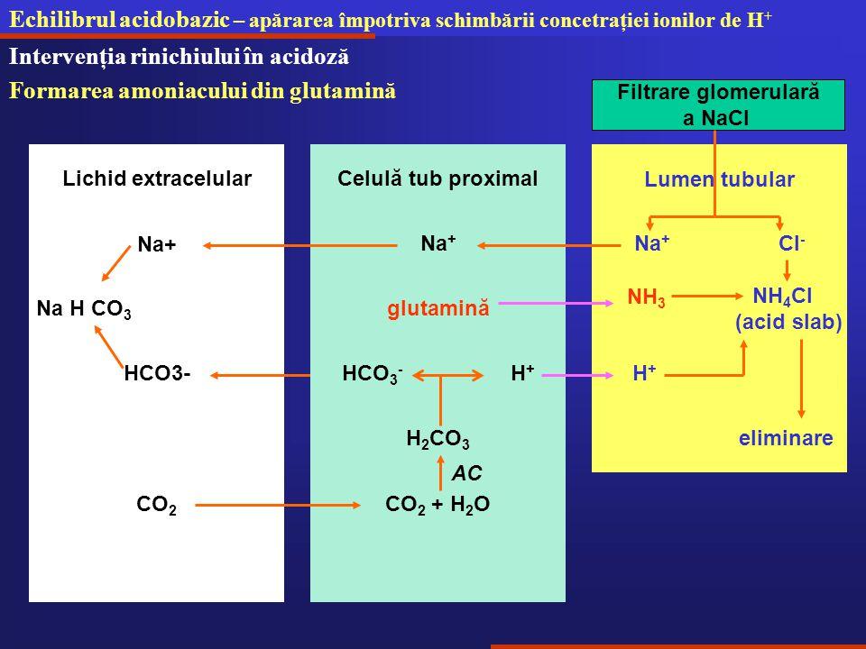 Intervenţia rinichiului în acidoză Formarea amoniacului din glutamină