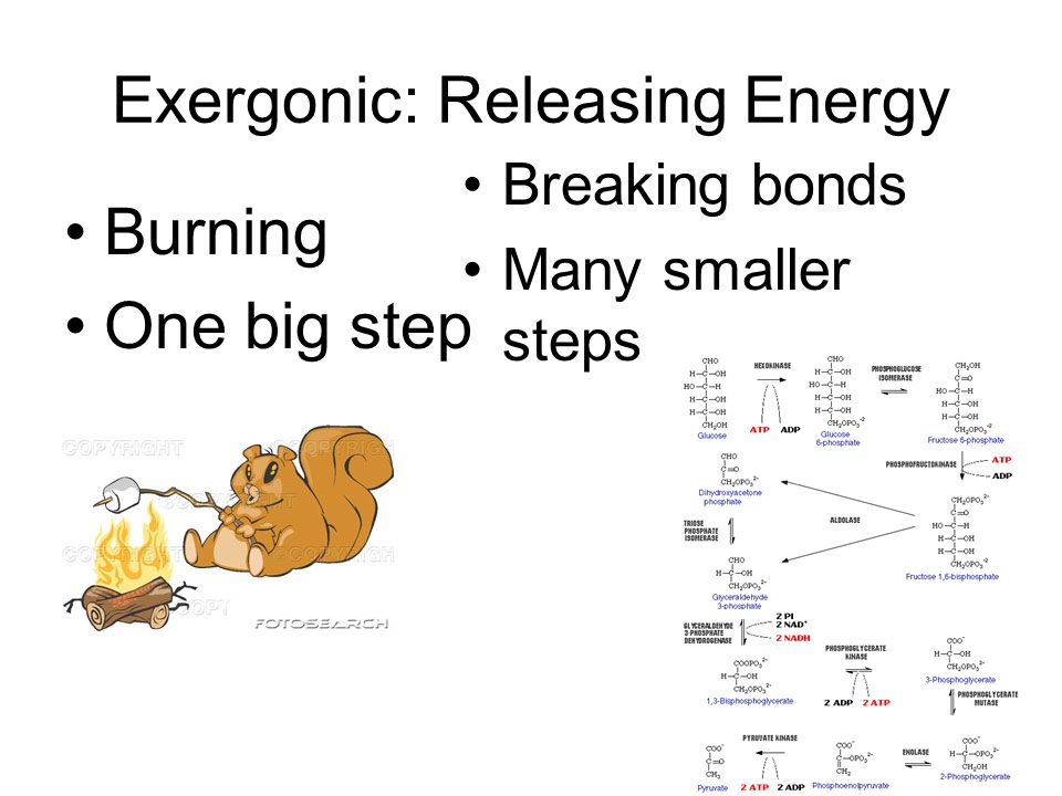 Exergonic: Releasing Energy