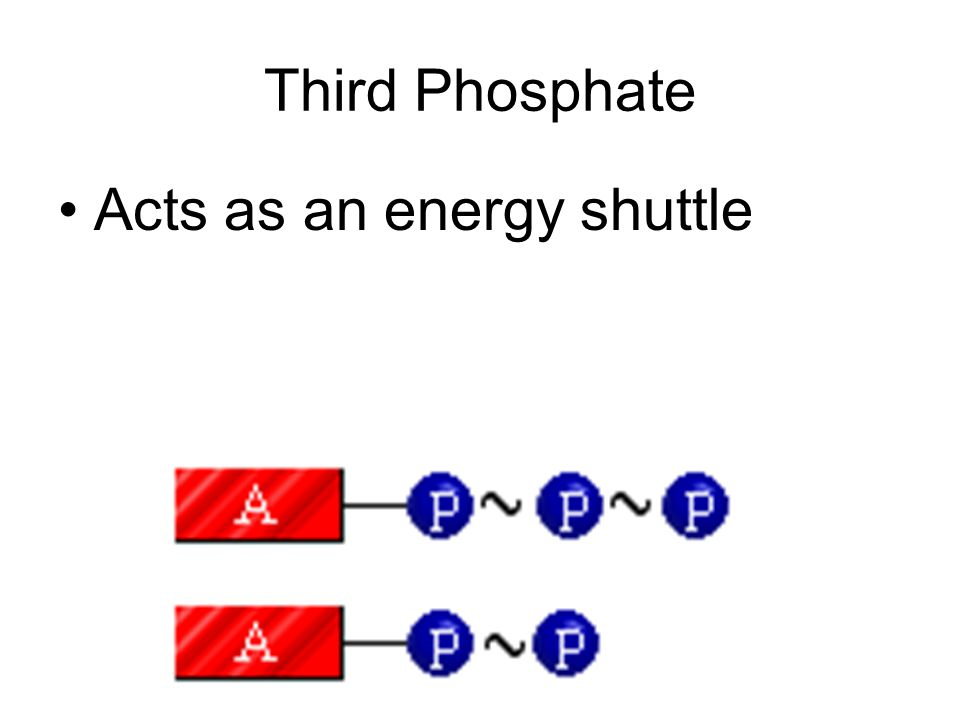 Third Phosphate Acts as an energy shuttle