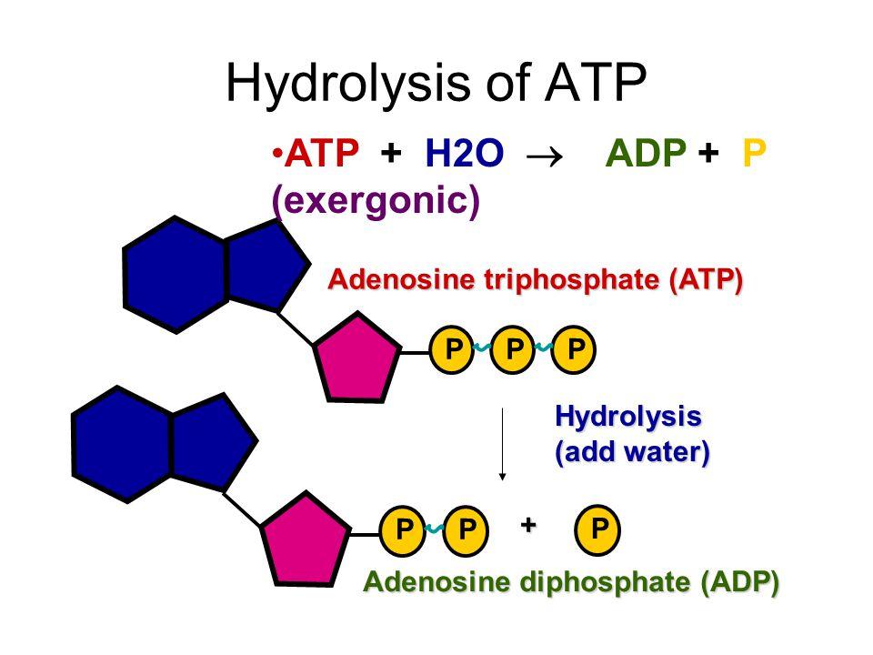 Hydrolysis of ATP ATP + H2O  ADP + P (exergonic)