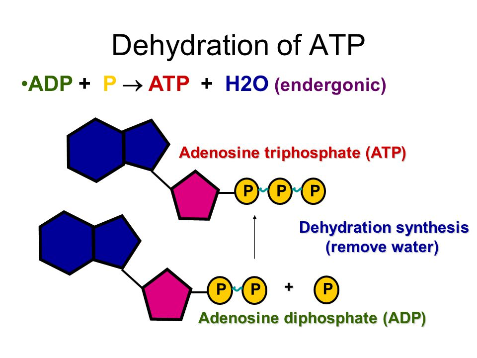 Dehydration of ATP ADP + P  ATP + H2O (endergonic)