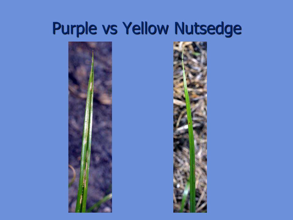 Purple vs Yellow Nutsedge