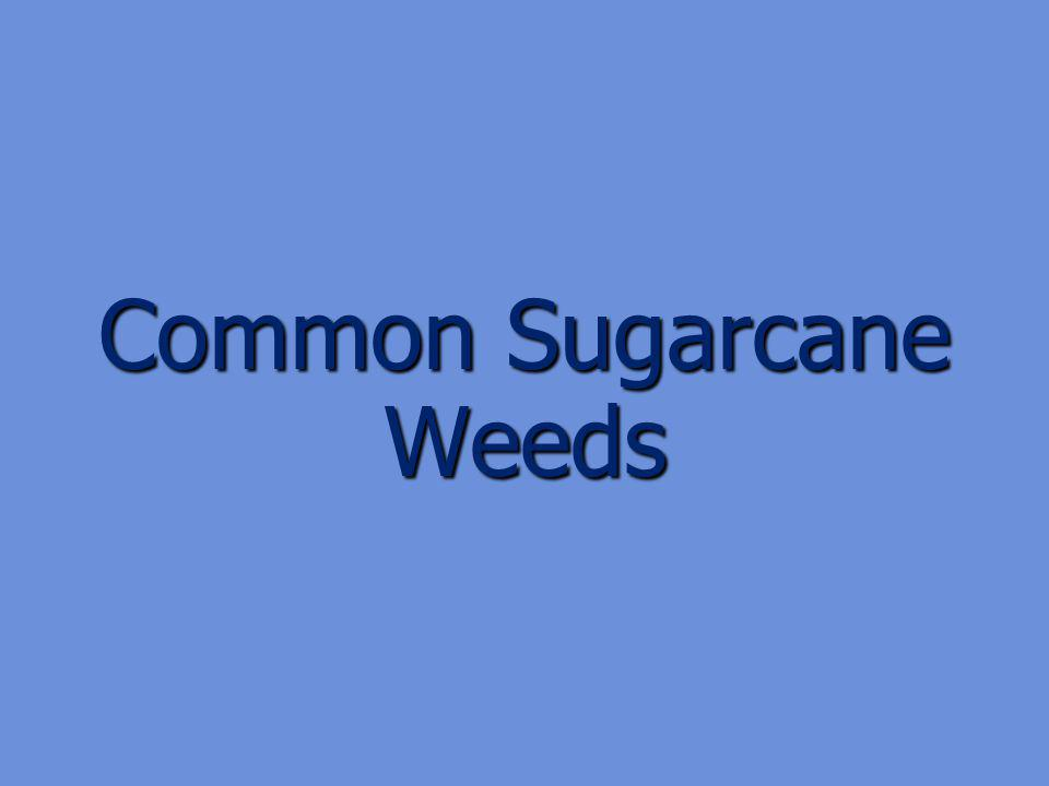 Common Sugarcane Weeds