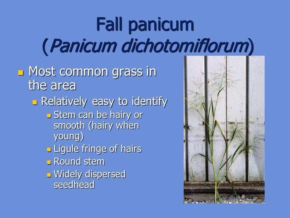 Fall panicum (Panicum dichotomiflorum)