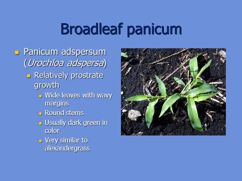 Broadleaf panicum Panicum adspersum (Urochloa adspersa)