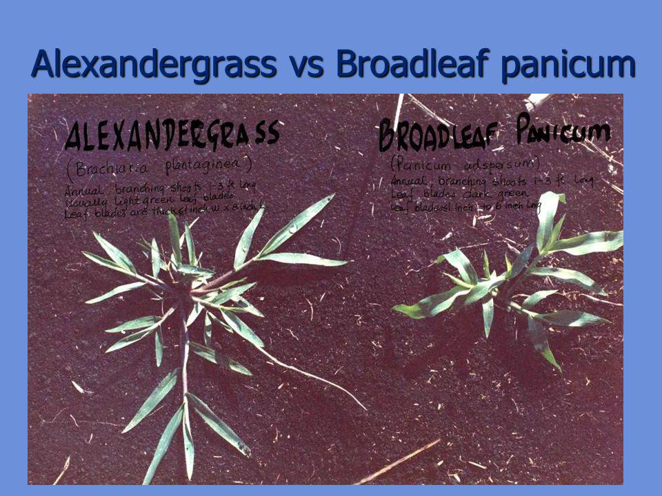 Alexandergrass vs Broadleaf panicum