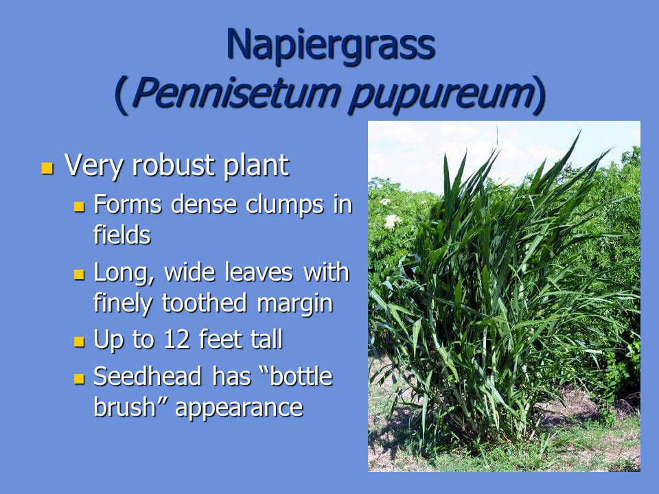 Napiergrass (Pennisetum pupureum)