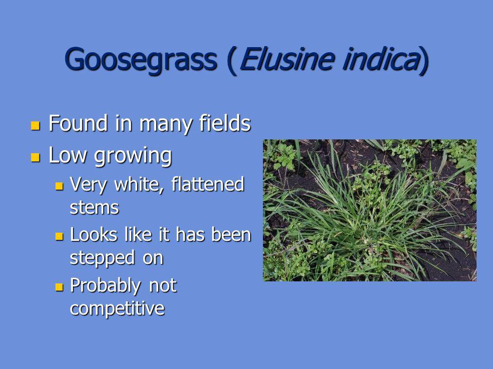 Goosegrass (Elusine indica)