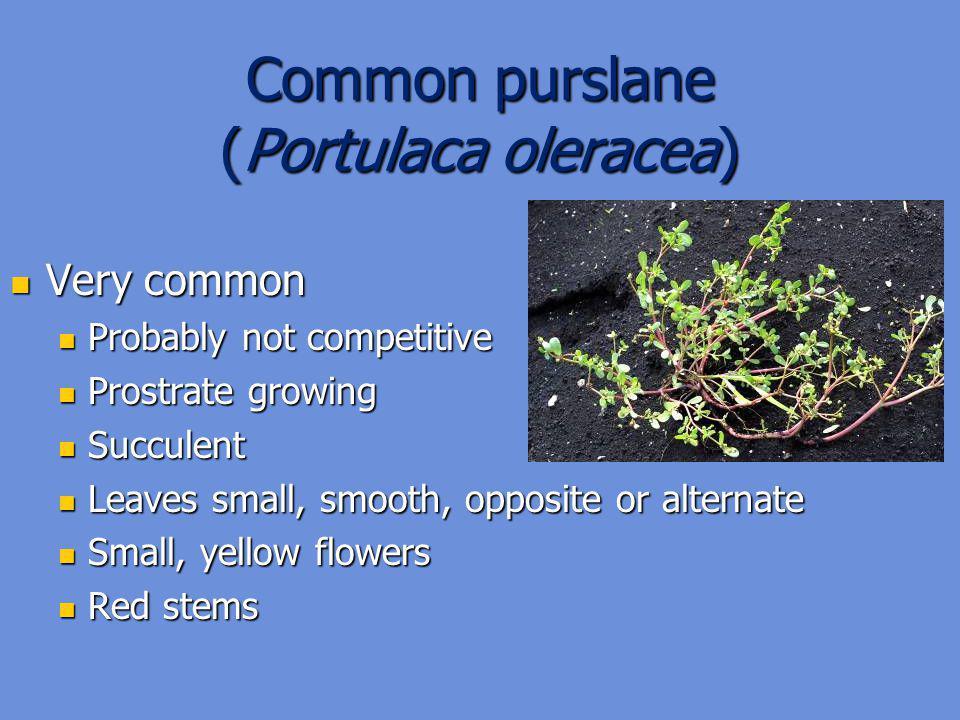 Common purslane (Portulaca oleracea)
