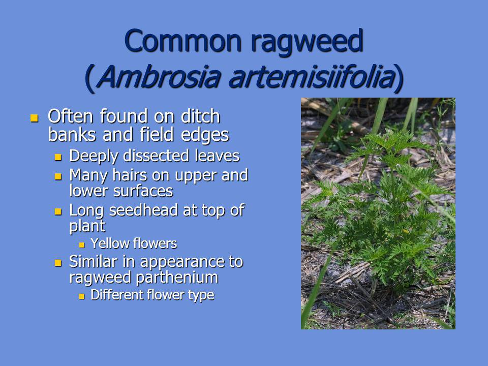 Common ragweed (Ambrosia artemisiifolia)