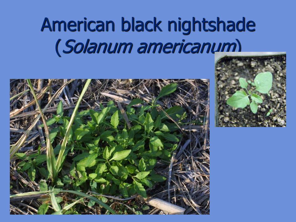 American black nightshade (Solanum americanum)