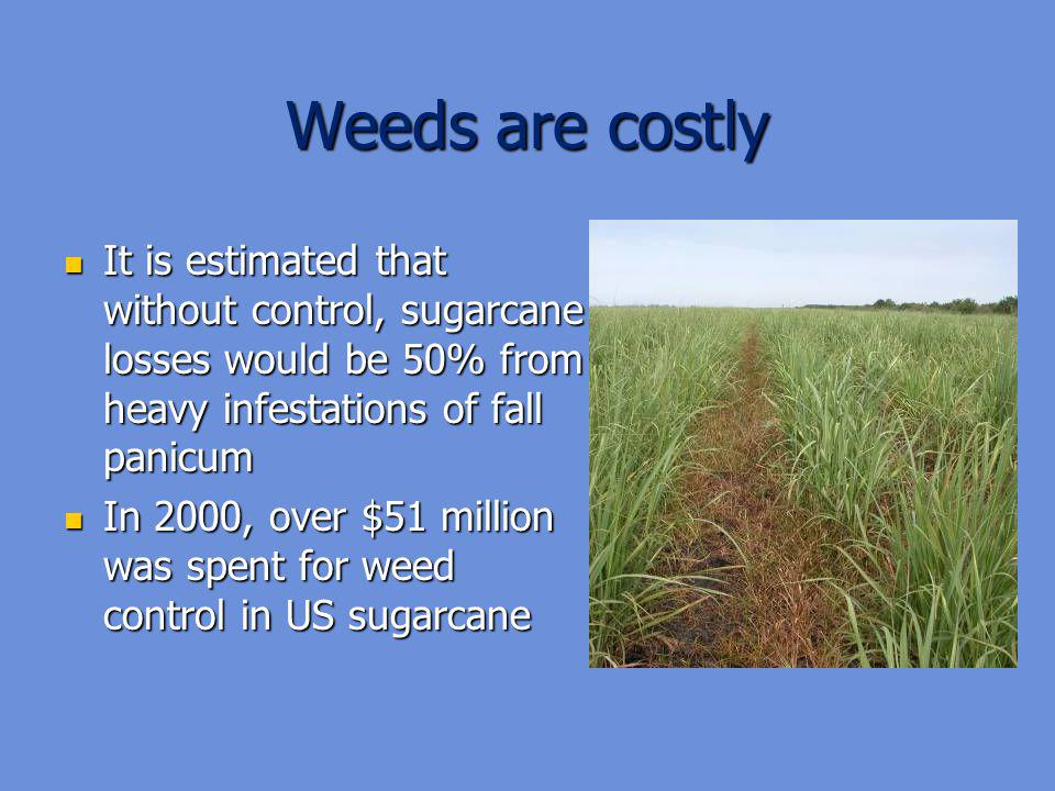 Weeds are costly It is estimated that without control, sugarcane losses would be 50% from heavy infestations of fall panicum.