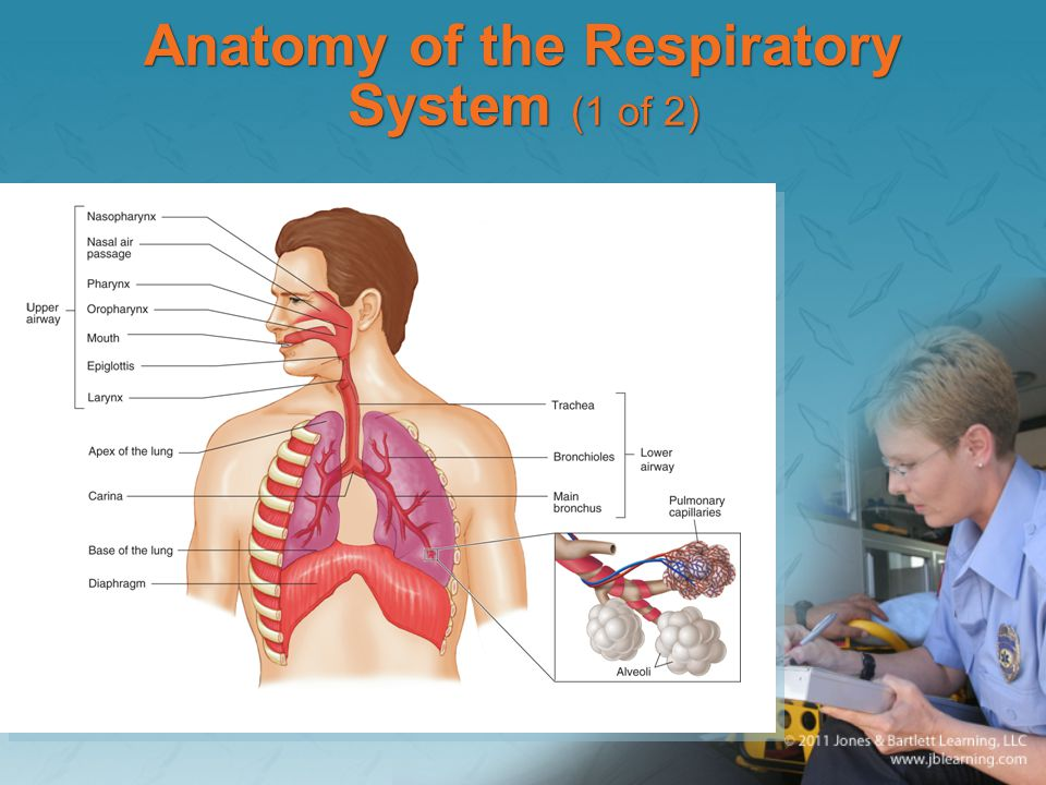 Anatomy of the Respiratory System (1 of 2)