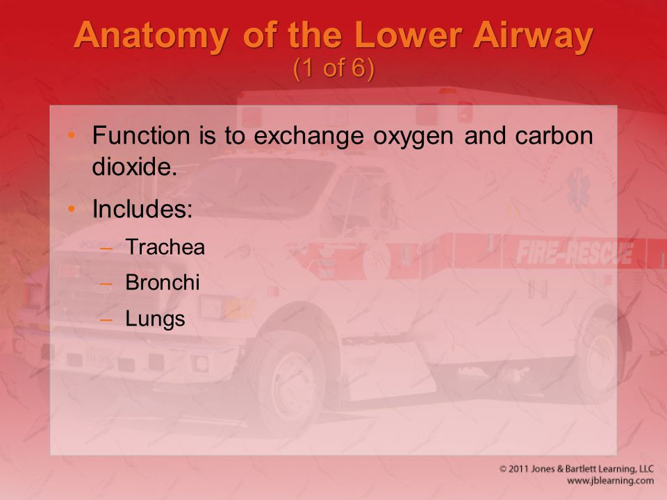 Anatomy of the Lower Airway (1 of 6)