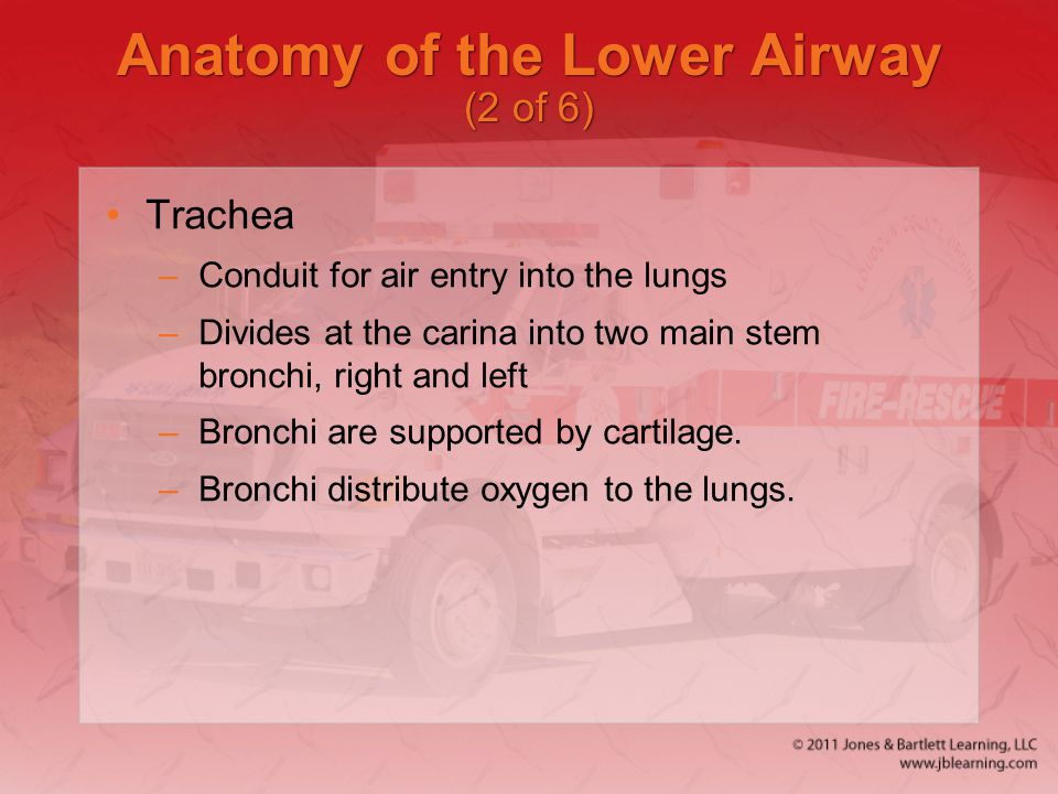 Anatomy of the Lower Airway (2 of 6)