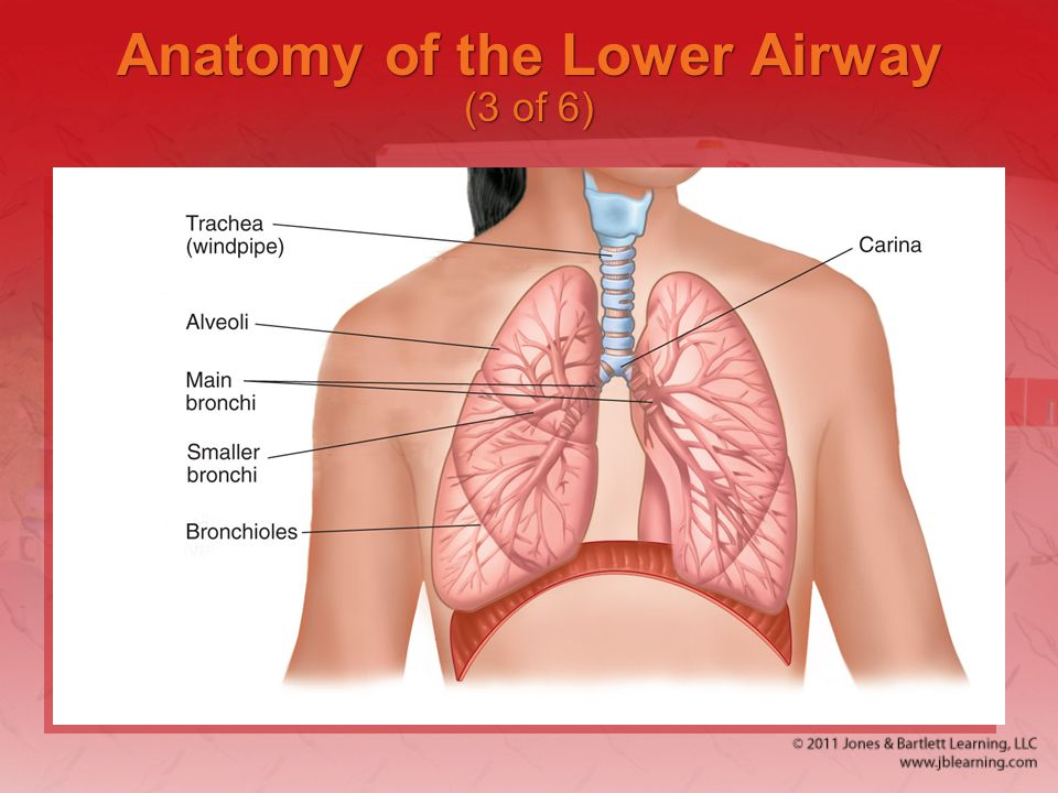 Anatomy of the Lower Airway (3 of 6)
