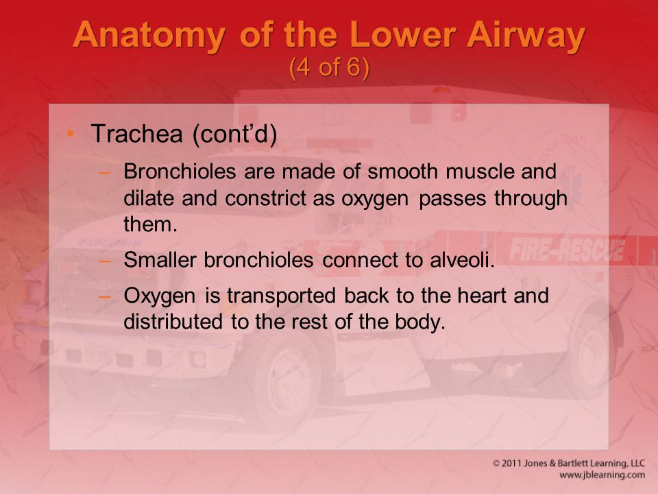 Anatomy of the Lower Airway (4 of 6)