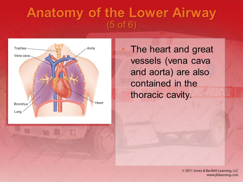 Anatomy of the Lower Airway (5 of 6)