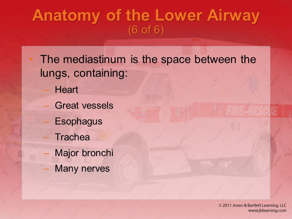 Anatomy of the Lower Airway (6 of 6)