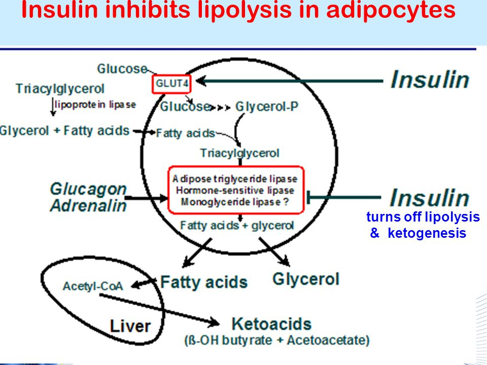 Insulin inhibits lipolysis in adipocytes turns off lipolysis