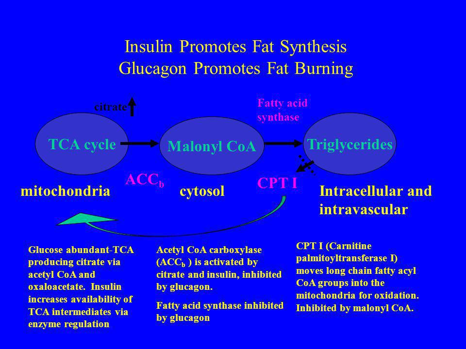 Insulin Promotes Fat Synthesis Glucagon Promotes Fat Burning