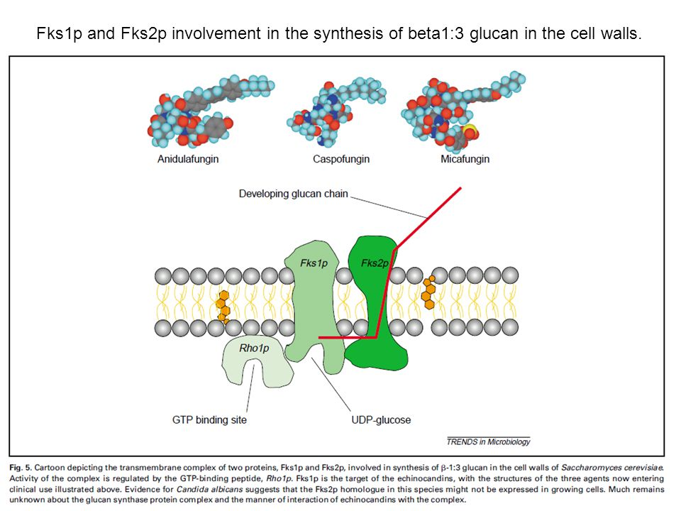Fks1p and Fks2p involvement in the synthesis of beta1:3 glucan in the cell walls.