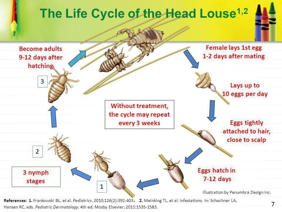 The Life Cycle of the Head Louse1,2
