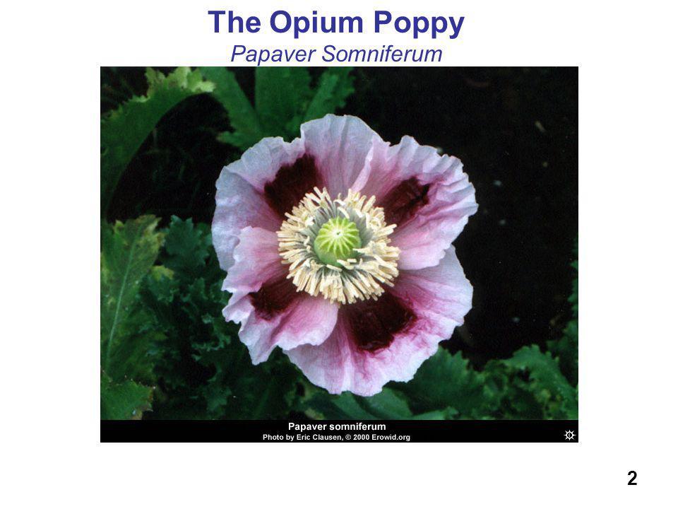 The Opium Poppy Papaver Somniferum