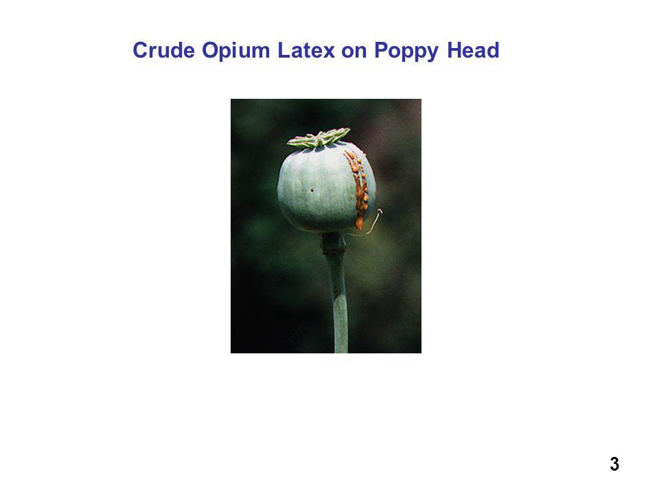 Crude Opium Latex on Poppy Head