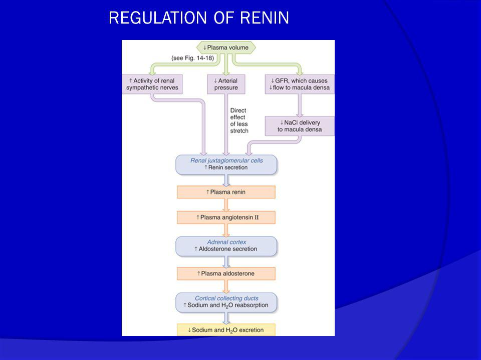 REGULATION OF RENIN