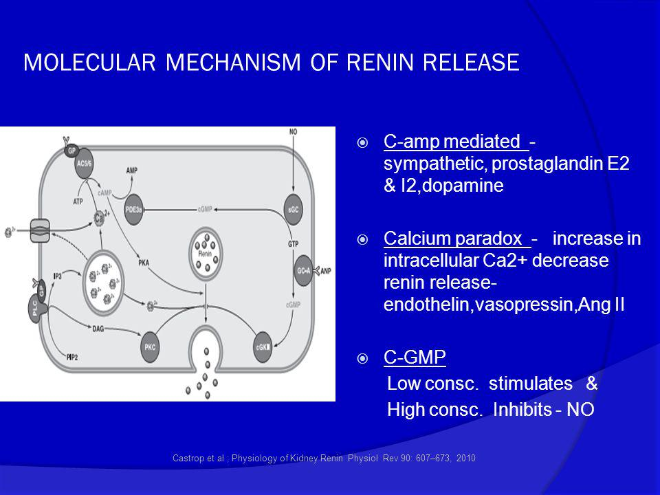 MOLECULAR MECHANISM OF RENIN RELEASE