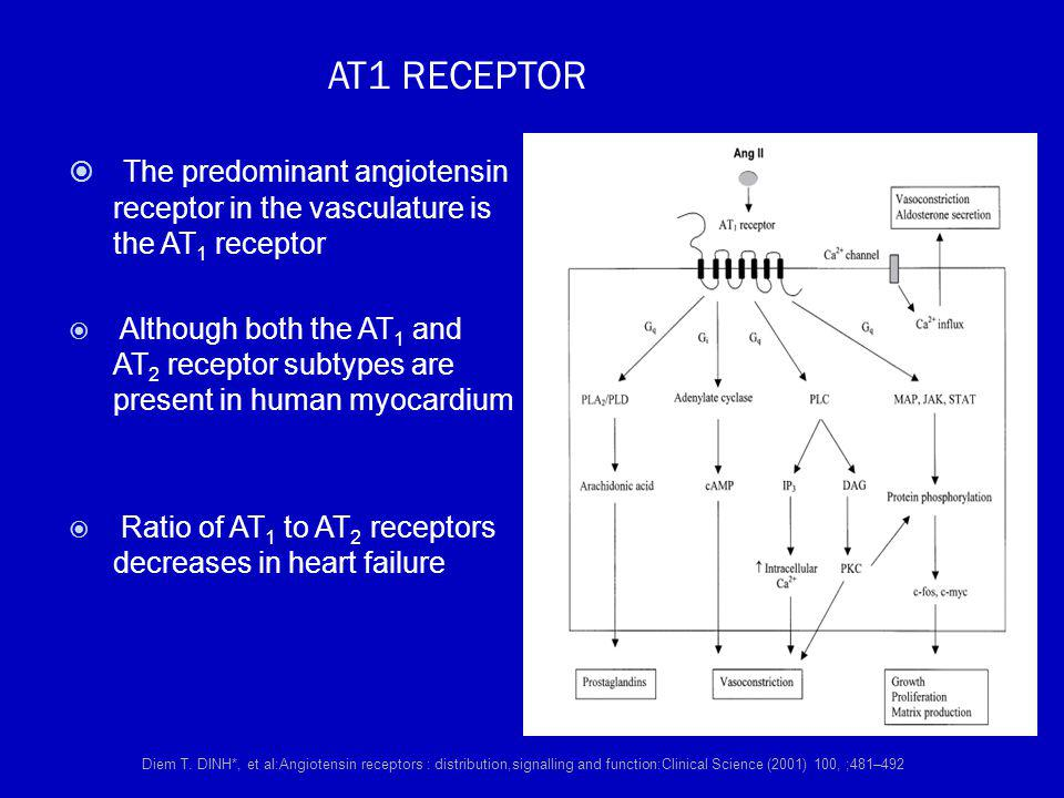 AT1 RECEPTOR The predominant angiotensin receptor in the vasculature is the AT1 receptor.