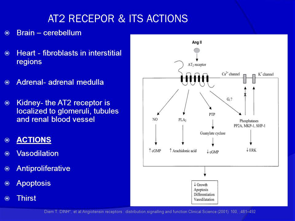 AT2 RECEPOR & ITS ACTIONS