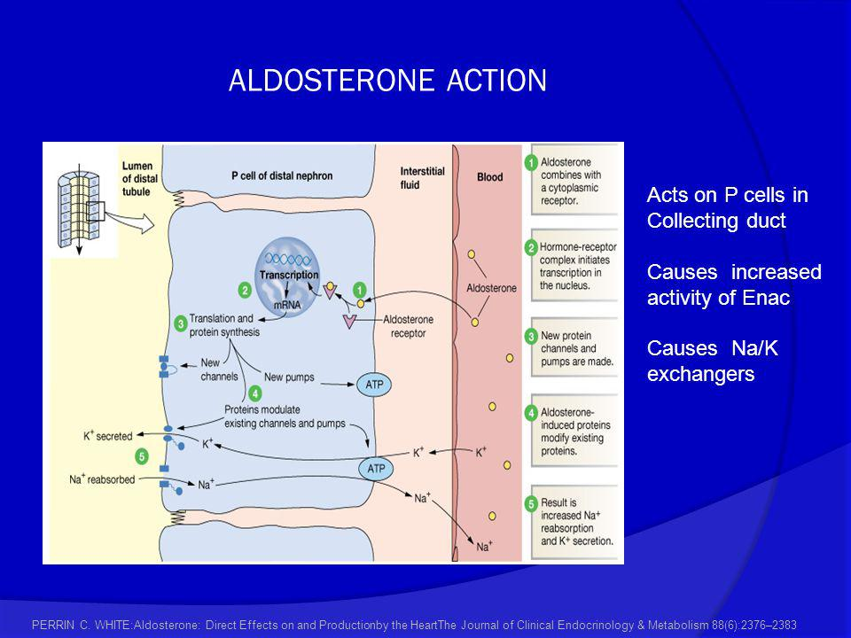ALDOSTERONE ACTION Acts on P cells in Collecting duct