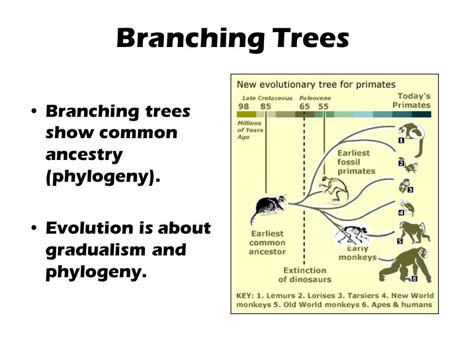 Branching Trees Branching trees show common ancestry (phylogeny).