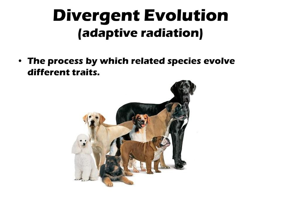 Divergent Evolution (adaptive radiation)