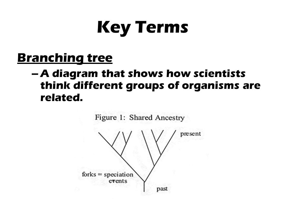 Key Terms Branching tree