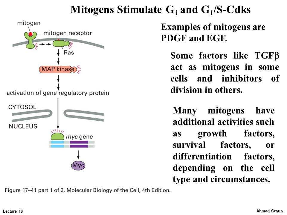 Mitogens Stimulate G1 and G1/S-Cdks