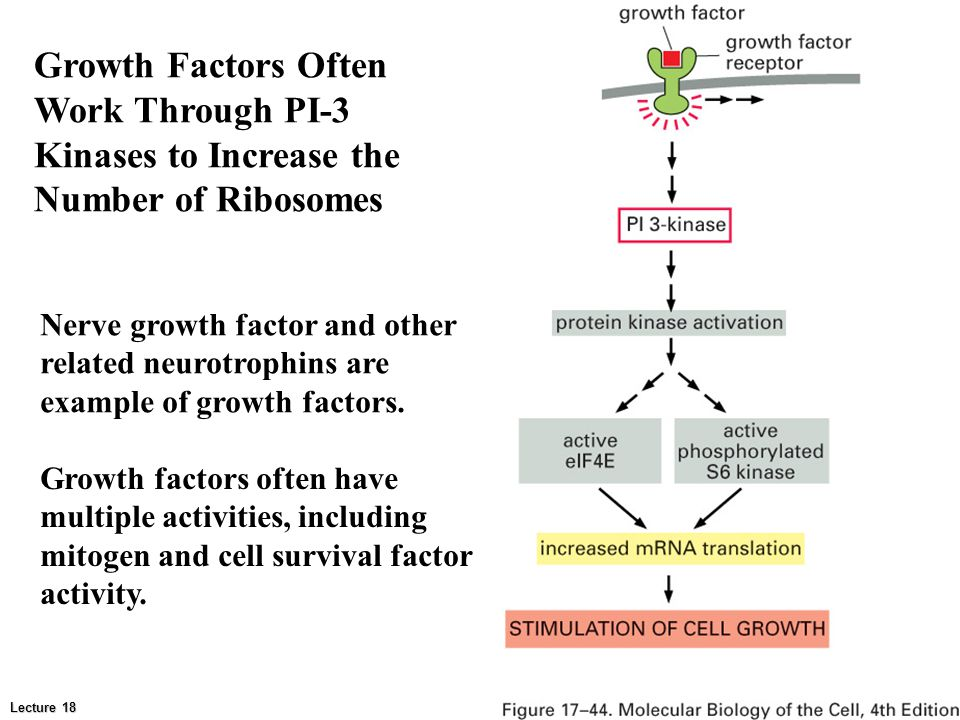 Growth Factors Often Work Through PI-3 Kinases to Increase the Number of Ribosomes