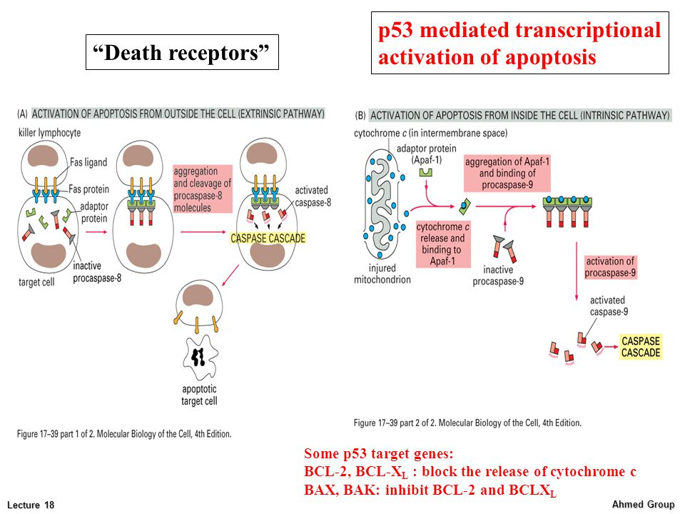 p53 mediated transcriptional activation of apoptosis Death receptors