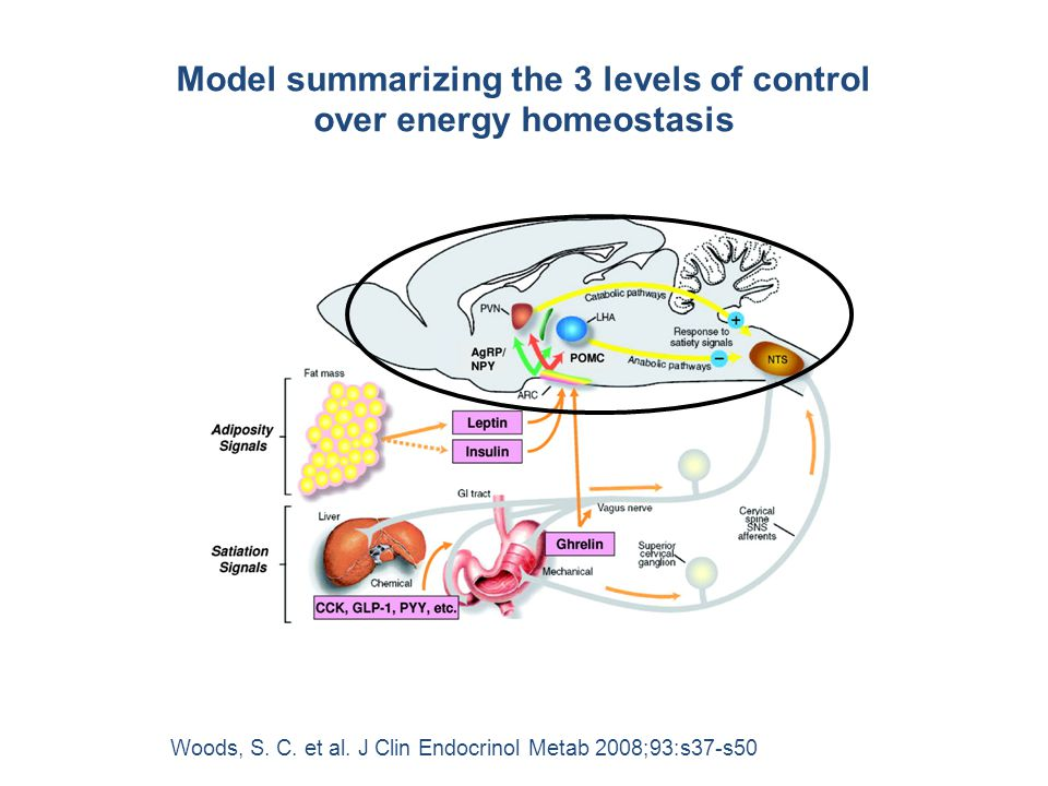 Model summarizing the 3 levels of control over energy homeostasis
