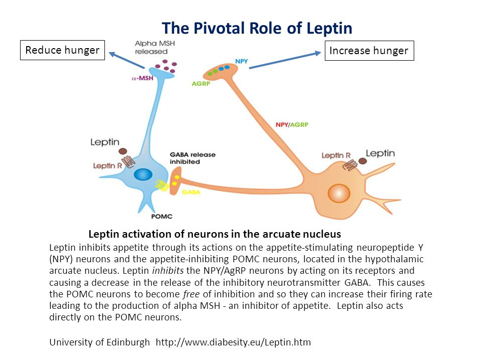 The Pivotal Role of Leptin